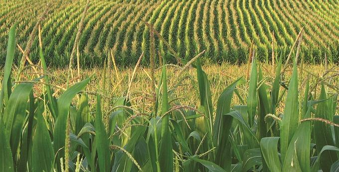 posev-kukuruzi